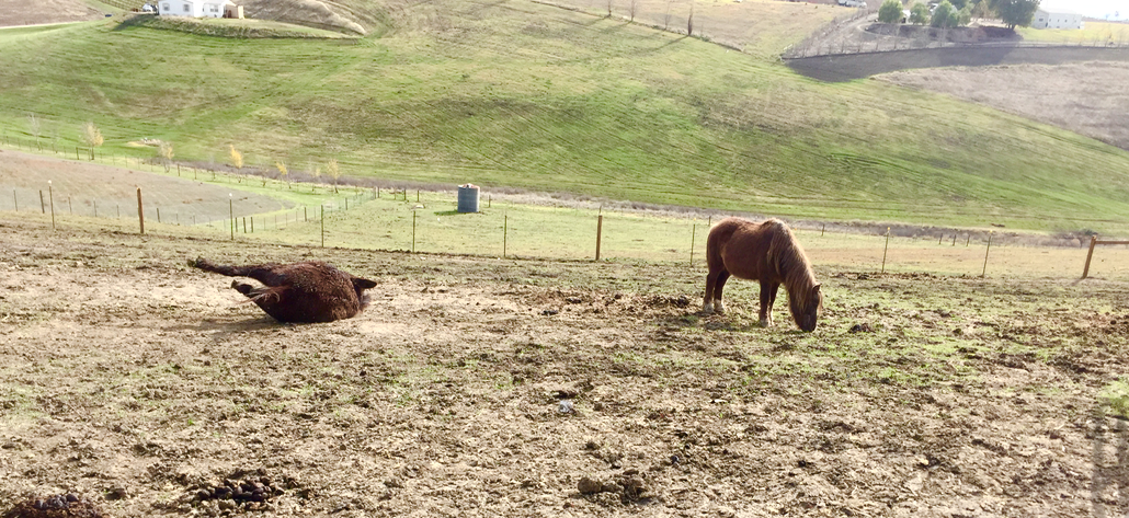 Dodger is back in his former pasture - all better! Nurse Norma is rolling after a long two weeks worrying about her friend...