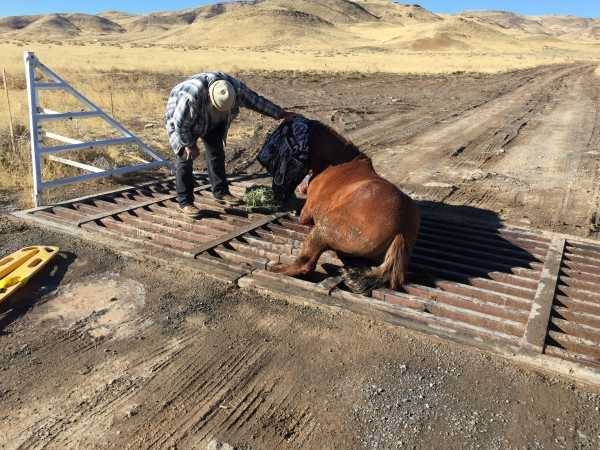 Amazing Rescue Of A Wild Horse Caught In A Cattle Grate