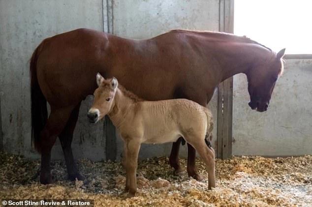 Cientistas clonam cavalos selvagens pela primeira vez usando amostras de DNA de 40 anos para ajudar a salvar as espécies ameaçadas de endogamia 3