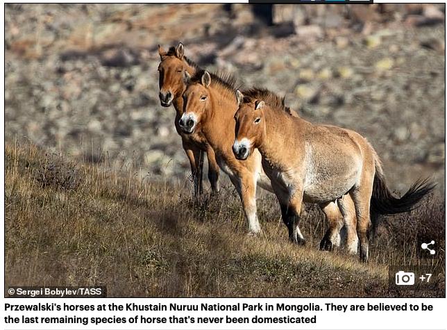 Cientistas clonam cavalos selvagens pela primeira vez usando amostras de DNA de 40 anos para ajudar a salvar as espécies ameaçadas de endogamia 6