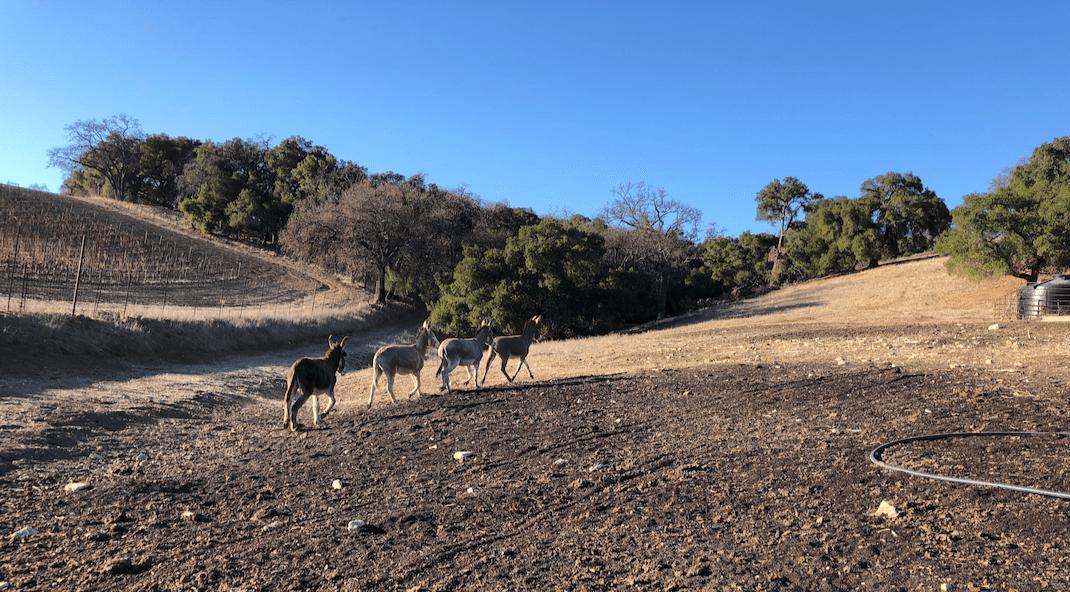A SURPRESA!  Quatro burros BLM antes selvagens encontrados em um matadouro no Texas, foram libertados de volta à liberdade hoje na Halter Ranch Winery. 2