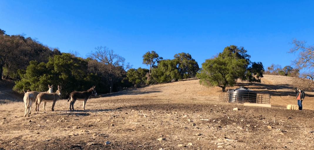 A SURPRESA!  Quatro burros BLM antes selvagens encontrados em um matadouro no Texas, foram libertados de volta à liberdade hoje na Halter Ranch Winery. 3