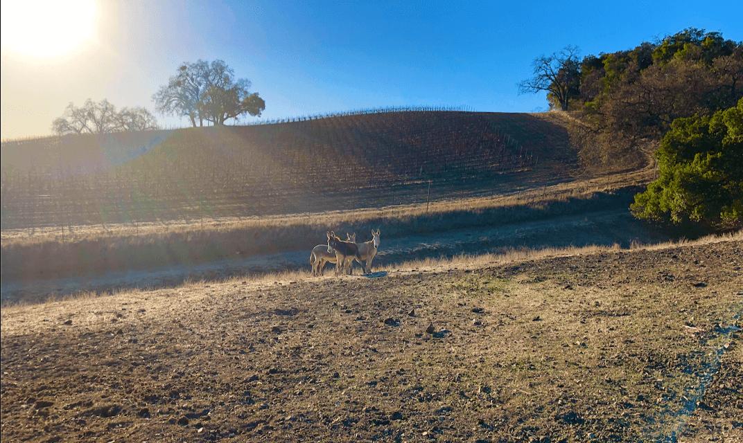 A SURPRESA!  Quatro burros BLM antes selvagens encontrados em um matadouro no Texas, foram libertados de volta à liberdade hoje na Halter Ranch Winery. 4