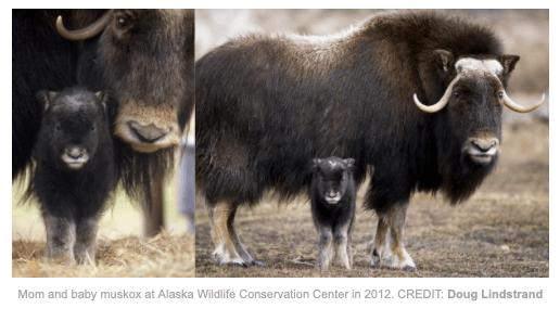 Depois de sobreviver a duas Idades do Gelo, o MUSKOX está se recuperando de quase extinção! 2