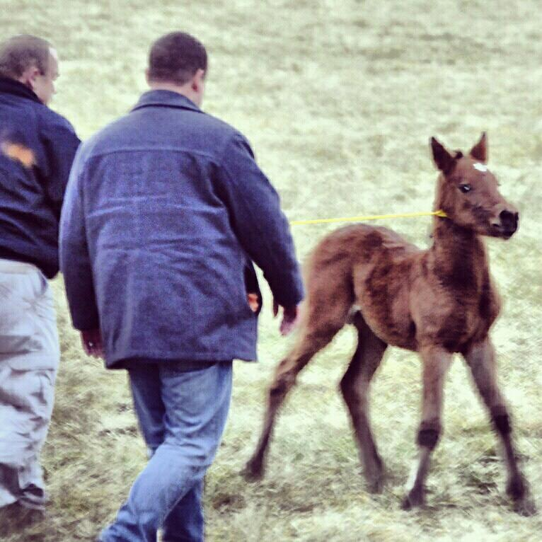 Smart wild baby refuses to go into the catchpen with his mother.  So, big goons get the bright idea to lasso the foal with baling twine.  Sheesh.