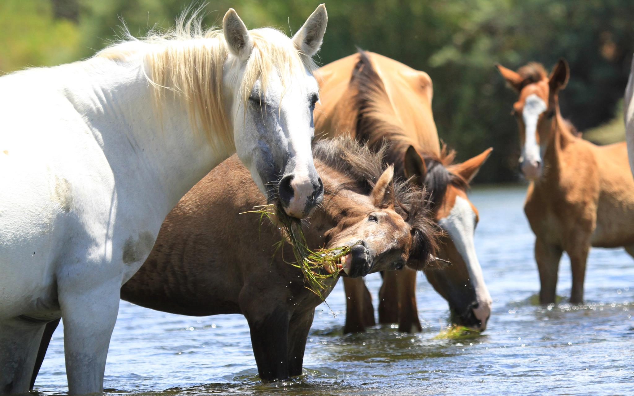 My fav of the week - our precious Arizona Salt River Wild Horses