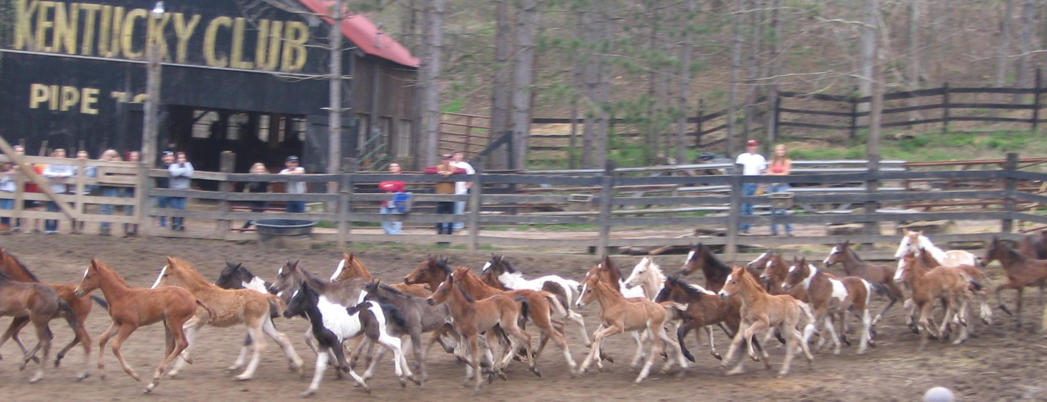A herd of very lucky nurse mare foals at the Last Chance Corral.