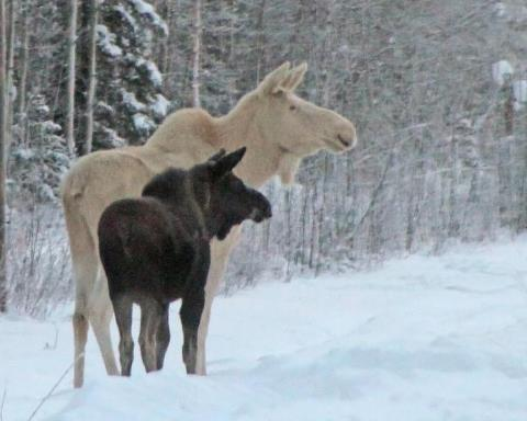 Rare White Moose Drinking Water Images