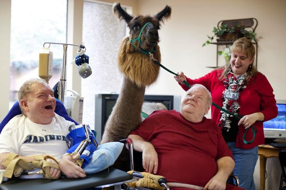 A therapy llama!