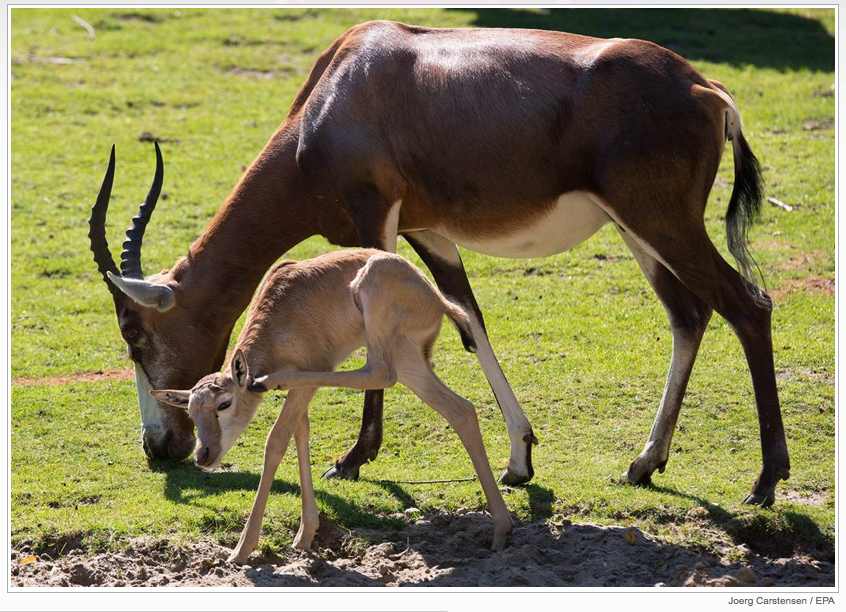 A newborn blesbok calf, born on July 12, scratches itself in the morning sun while its mother grazes at a zoo in Berlin, Germany.