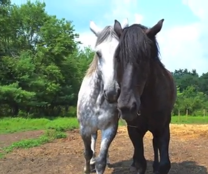 Click image to help purchase hay for all the happy and busy drafts at Blue Star Equiculture!