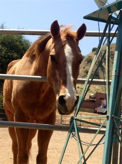 June Bucket Fund horse is 42 year old ex Police horse - present working therapy horse, Buster, who needs a sponsor!!  His Senior feed is expensive!