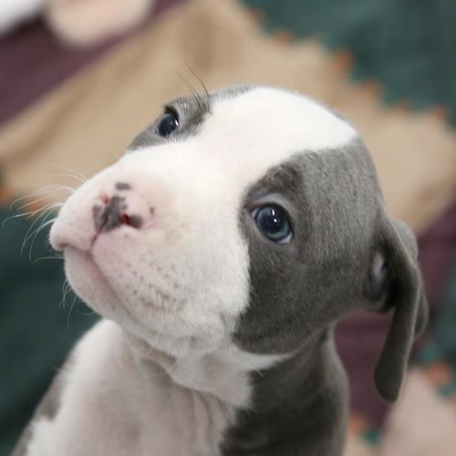 This was one of the puppies in a large litter of large puppies that I inquired about and filled out an application - with no response.
