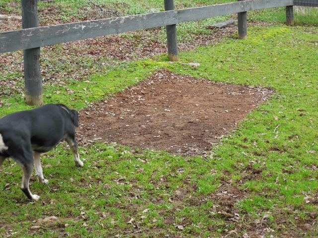 Here is the patch of dirt that used to be covered by wood that I used to fortify Bodhi's shelter to fit Slick....  (Note the photobombing Shiva!)