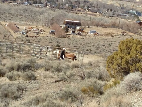 Here they are in their doomed catchpen.  The BLM is refusing to let the Carson City townspeople buy them back and house these horses themselves.