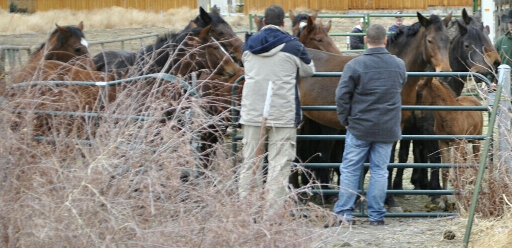 ALL 41 horses are in a few small pens, waiting for Jan 9th to be auctioned.  THEY ARE GOING TO BE AUCTIONED ON THE SAME DAY AND THE SAME FEEDLOT AS THE STAGECOACH 8 that we raised money to save earlier this month.