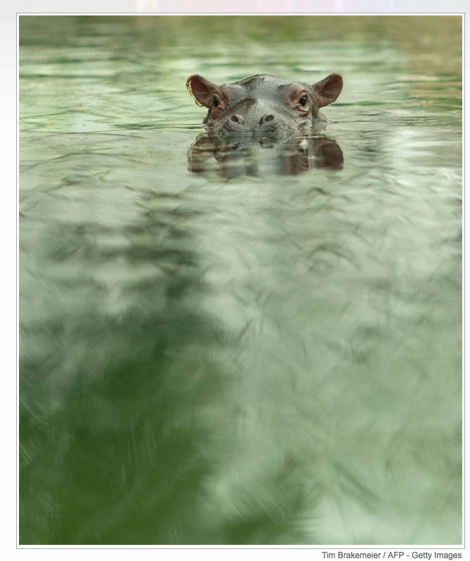 I cannot resist a baby hippo