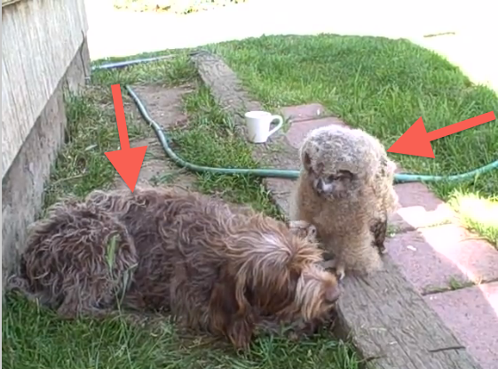 The fluffy thing on the right is an owl!  The brown fluff is a dog.  You need to watch this! Click on image.  I was transfixed.