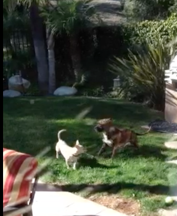 Click to watch Rosie playing with a chihuahua.  I think she is still looking for a home, not sure. What a great and noble dog!