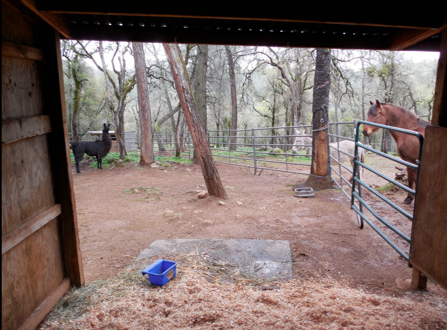 I sat with her for a while and just as I was leaving, I decided to snap this photo from her stall window.  She likes that corner of her paddock.  PLLL is eating dried pine needles.  A new fav.