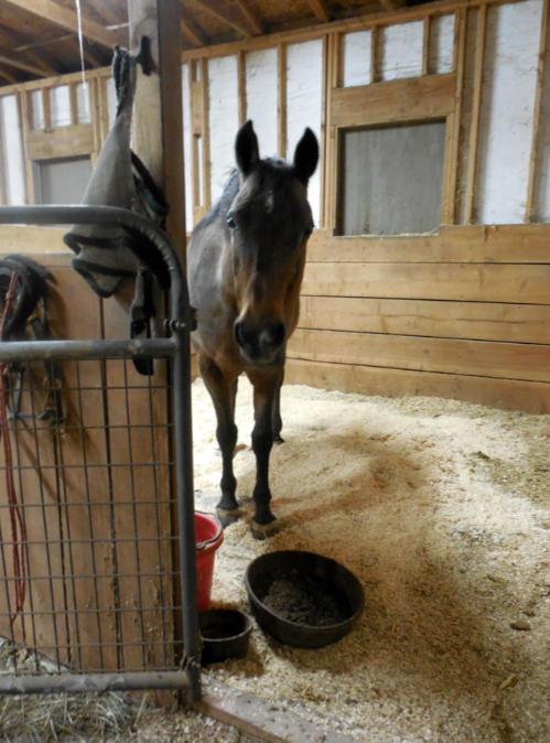 A Regumate experiment: will it help my laminitic mare