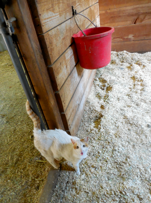 Sally, one of the barn kitties, calls to me as she inspects Tess' stall.  Note: another water bucket...
