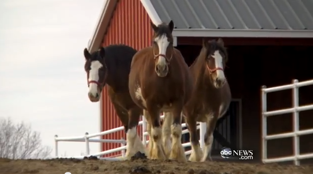 I loved this video... It is of the birthing and training farms for the Budweiser Clydes.  These three are pregnant mares... Click to watch the video!