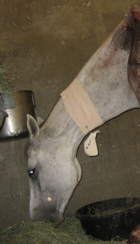 This is a small piece of her very graphic recovery photo - the wound is huge and draining but she is one lucky mare!  The surgery was not a moment too soon!