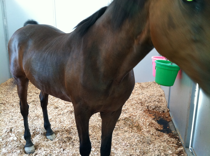 I didn't get very good shots today - but I was very proud of her weight loss and how beautiful she looked when they didn't even know I was coming.  Her stall was perfect and she looked wonderful.