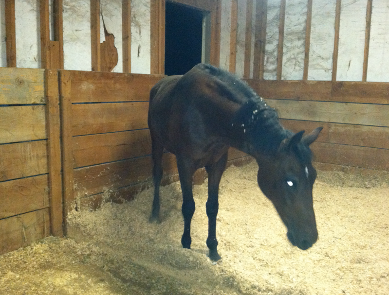 She practically ran to her stall... I opened up a 2nd stall for her to roam on the hard floor, if she wanted.  She found this arrangement quite interesting and agreeable.