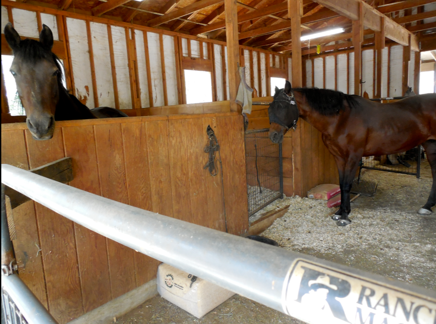 Gwen wants O-U-T.  She has never been in a stall barn except during very bad weather.  She hates it.
