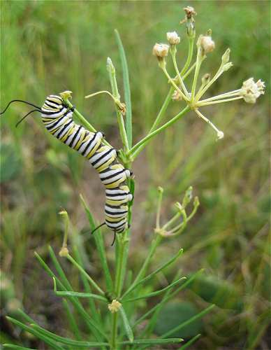 MONARCH BUTTERFLY CATERPILLAR eats this weed to protect itself from being eaten.  Smart.  Ol' Mother Nature at work.