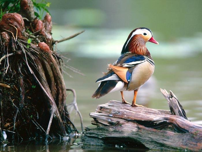 Duck of splendor