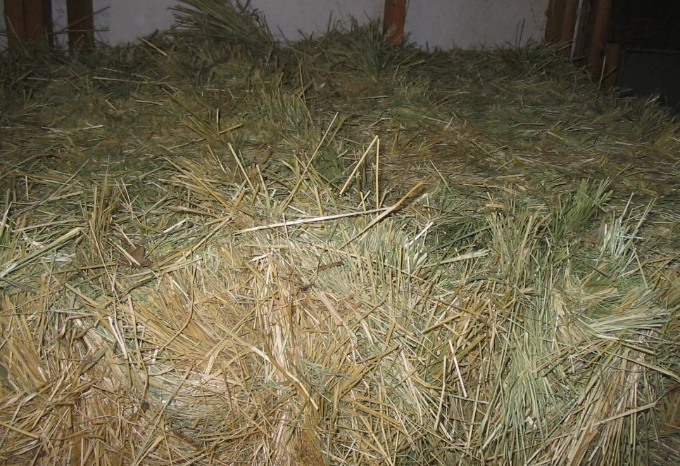 TEFF HAY. Should you feed it to your