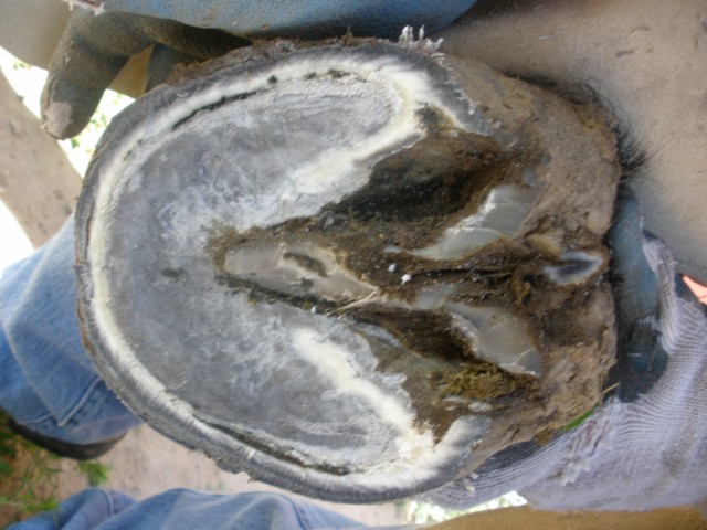 Hoof Abscesses Horse And Man