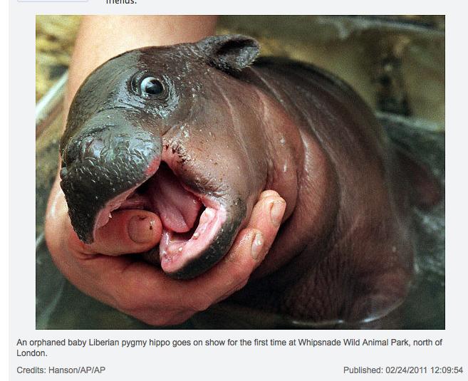 Tiny Hippo.