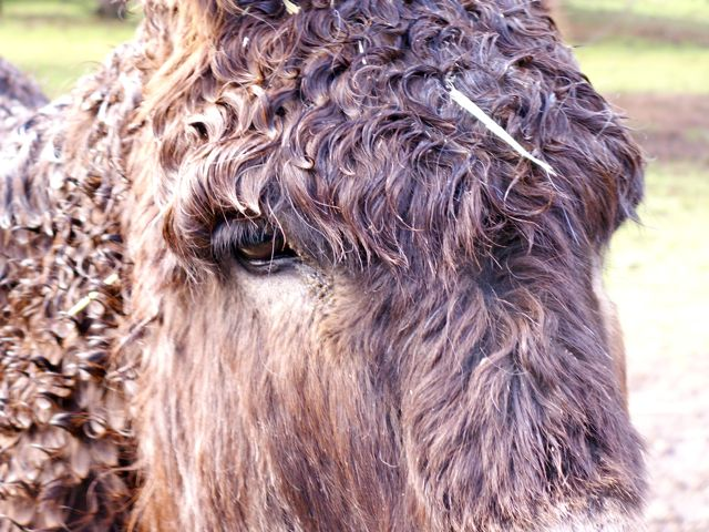 Donkeys Do Suffer Laminitis And Founder Getting Them Into