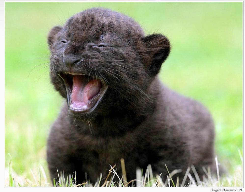 Three week old  panther