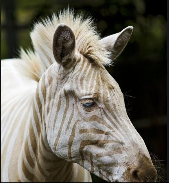 zoe white zebra